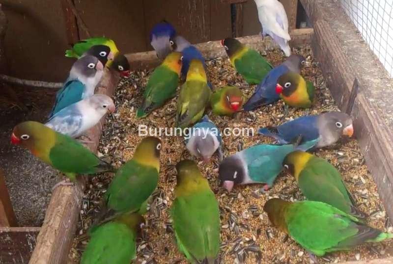 Makanan Burung Lovebird (youtube.com)