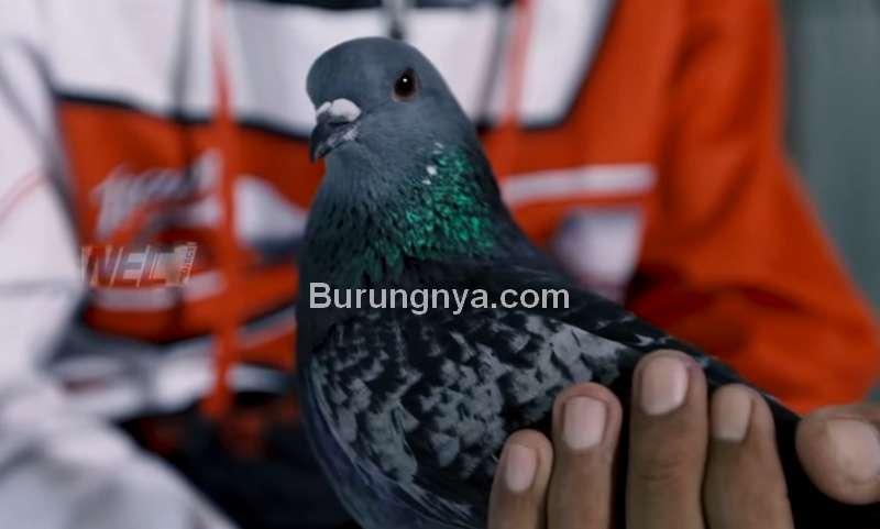 Merpati Garong Harga Rp 1,7 Miliar (youtube.com)