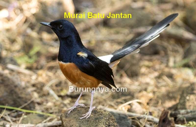 Murai Batu Jantan (birdsna.org)