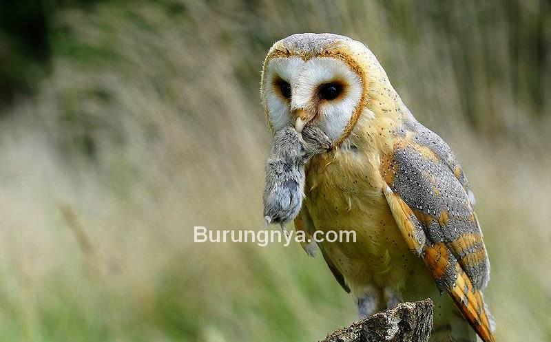 Pakan Burung Hantu (pixdaus.com)