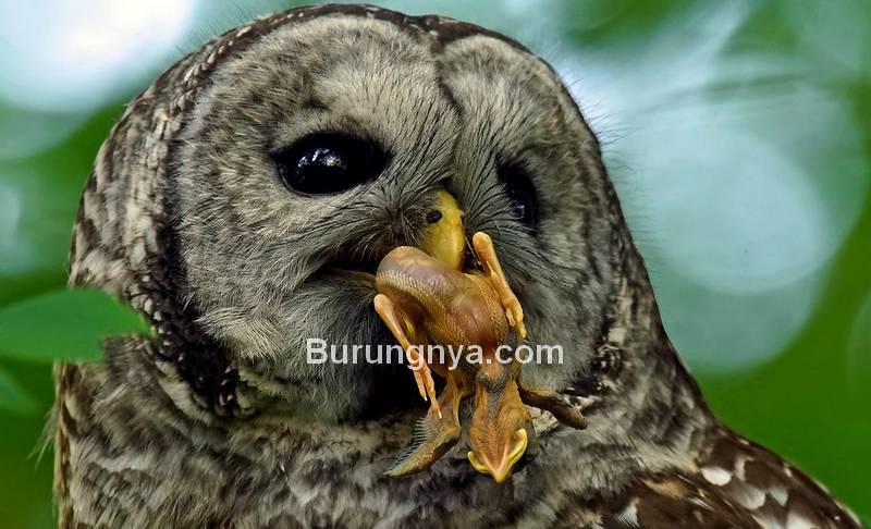 Pakan Burung Hantu sesuai Jenisnya (flickr.com)