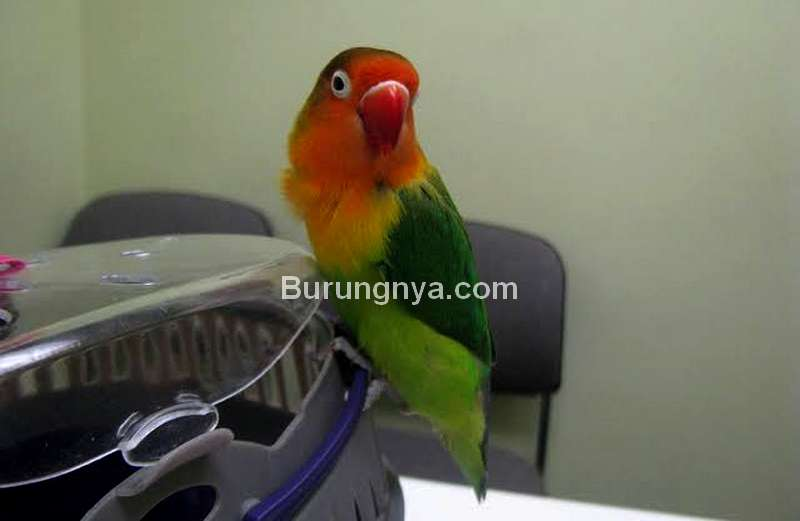 Pakan Burung Lovebird (calgarypetvet.com)