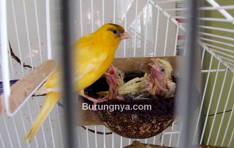 Pakan Ternak Burung Kenari (canarysingingbrids.blogspot.com)