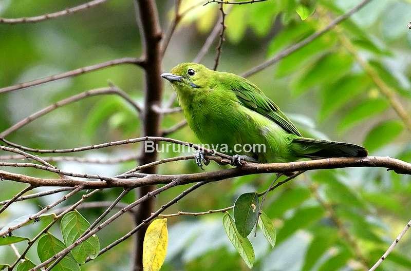 Perawatan Cucak Ijo Mini (suntorophotolibrary.blogspot.com)