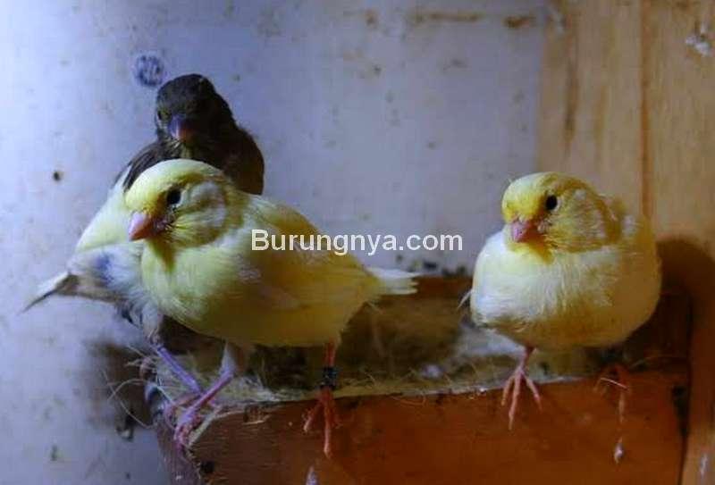 Perhitungan Usaha Ternak Burung Kenari (picbear.org)
