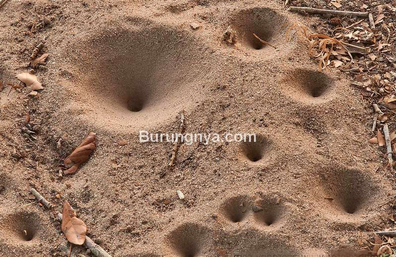 Rumah Undur undur di dalam tanah atau pasir yang cekung (biodiversitywarriors.org)