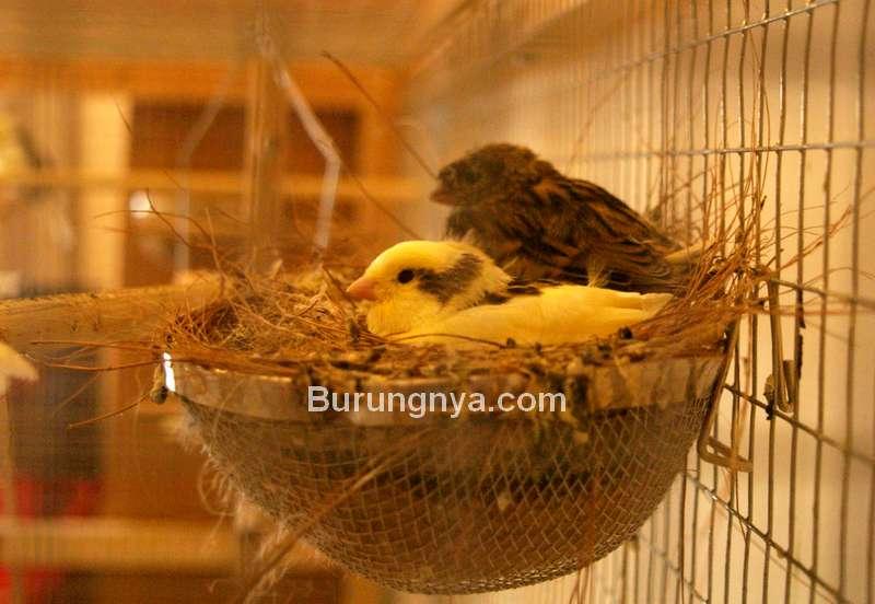 Ternak Burung Kenari (flickr.com)