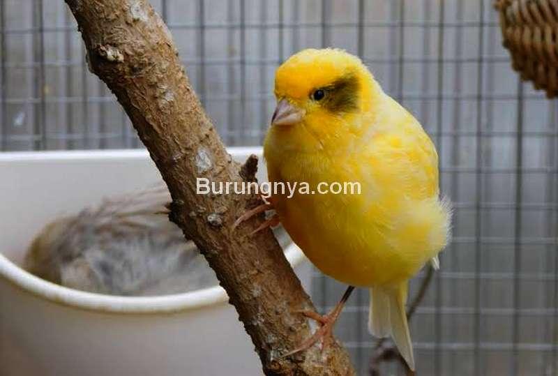 Ternak Burung Kenari (thefinchweekly.com)