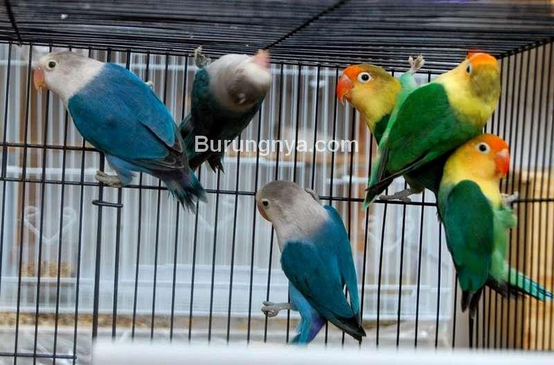 Ternak Burung Lovebird (budidayakenari.com)
