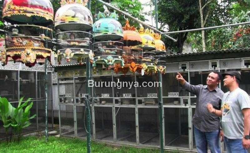 Ternak Perkutut Bangkok (tribunnews.com)