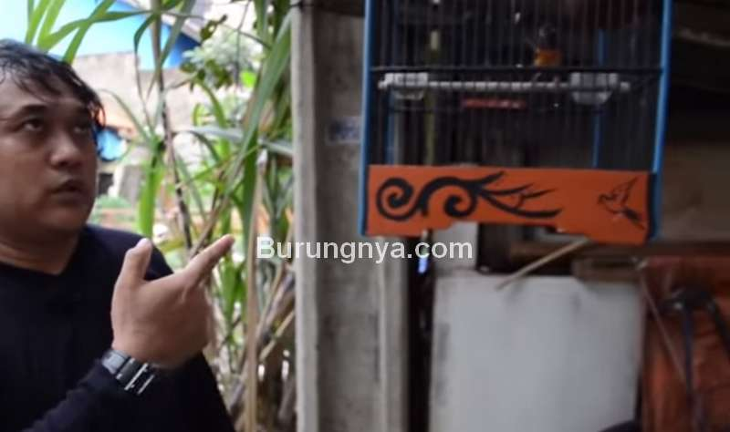 Altri dan Anakan Murai Batu Betina Hasil Ternak Sangkar Gantung (youtube.com)
