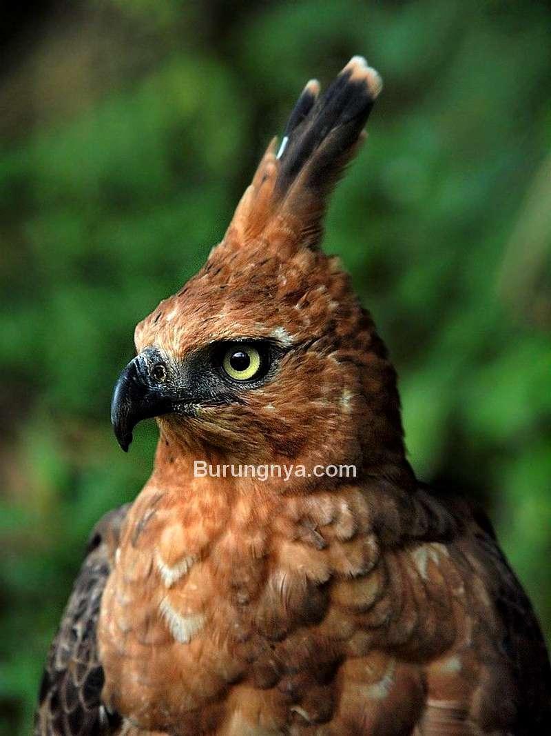 Burung Elang Jawa mirip Burung Garuda (idntimes.com)
