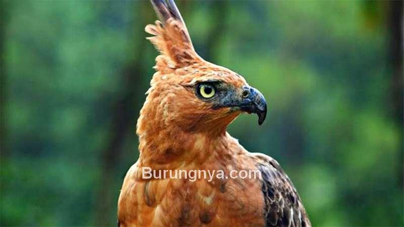 Burung Elang Jawa sama dengan Burung Garuda (youtube.com)