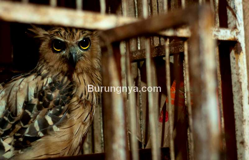 Burung Hantu Tidak Cocok Dipelihara (mongabay.com)