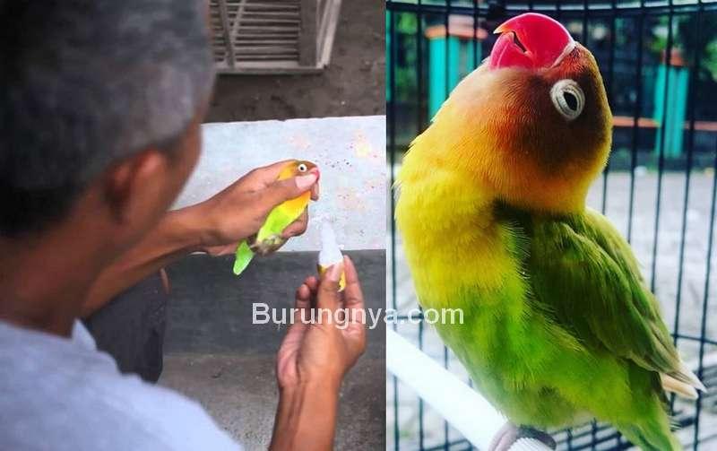 Cara Menambah Durasi Ngekek Lovebird (google.com)
