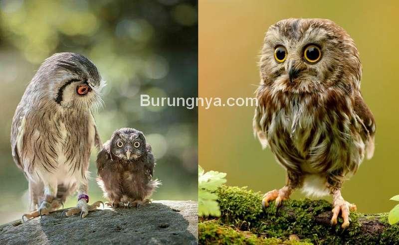 Cara Merawat Anak Burung Hantu dan Harganya (pinterest.com)
