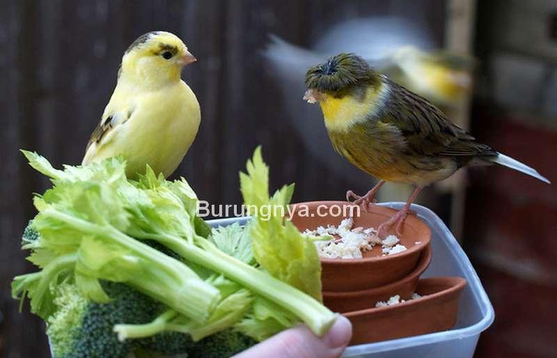 Cara Ternak Burung Kenari dari Penjodohan sampai Menetas (flickr.com)