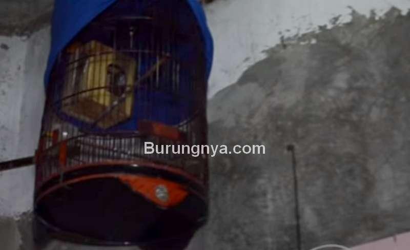 Cara Ternak Burung Murai Batu di Sangkar Gantung (youtube.com)