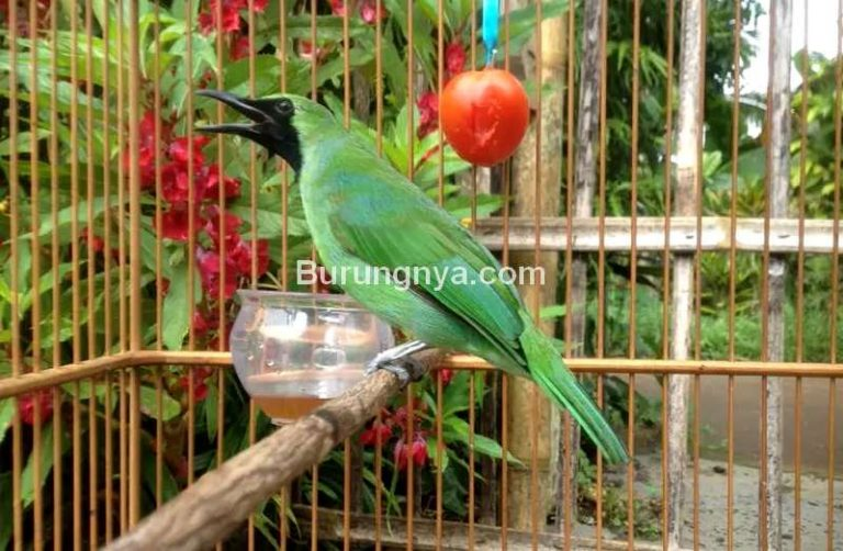Daftar Burung Dilindungi Cucak Ijo Paling Lambat Agustus ...