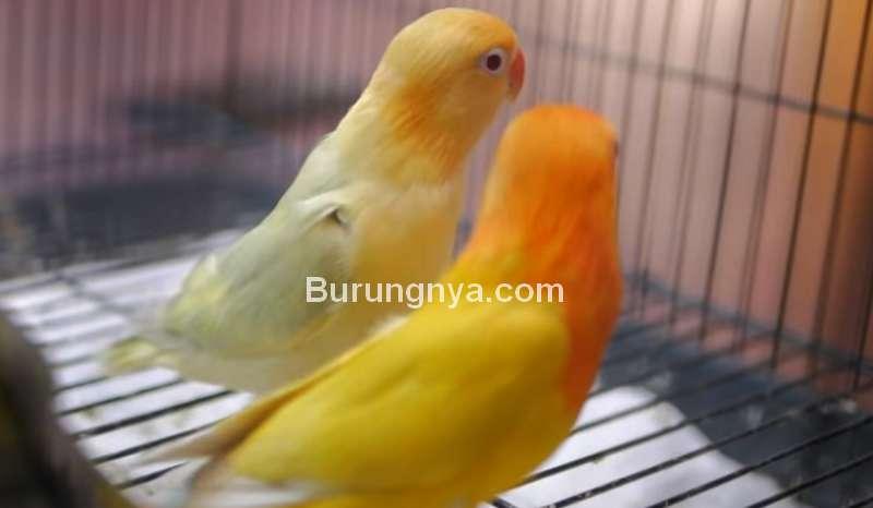 Jenis Lovebird yang Harga Naik di Tahun 2020 (youtube.com)