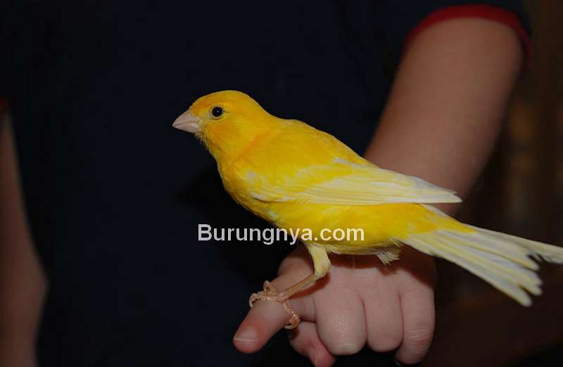 Karakter Burung Kenari Mudah Jinak (omlet.us)