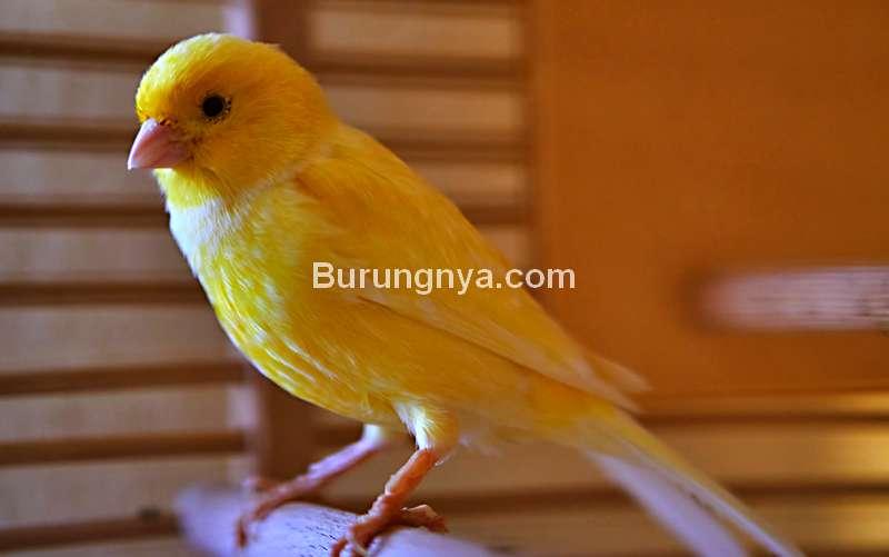 Karakter dan Kelebihan Burung Kenari (chewy.com)