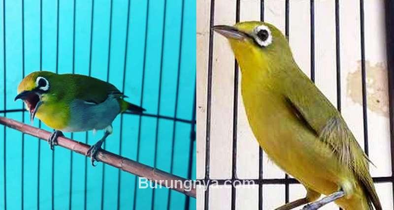 Lebih Bagus Burung Pleci Dada Kuning atau Putih (youtube.com)
