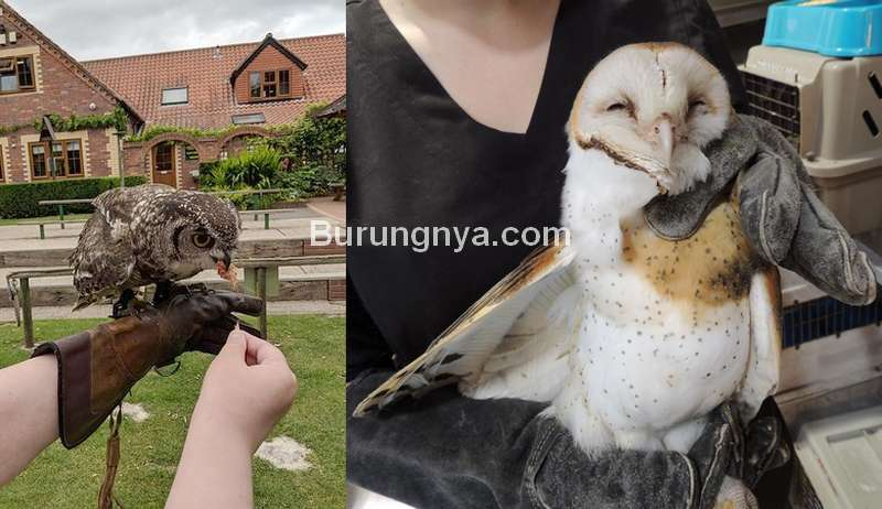 Perawatan Anakan Burung Hantu (wildlifecenter.org)