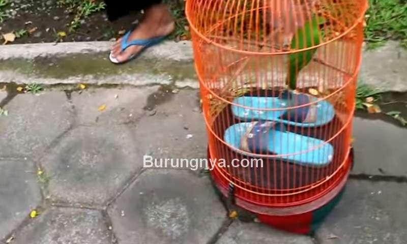 Sandal Istri dan Cucak Ijo Mujur (youtube.com)