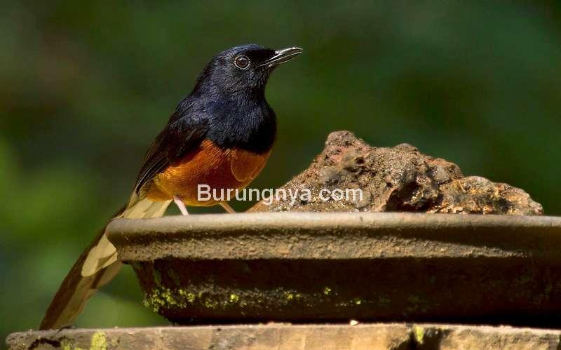 Tips Murai Batu Bakalan Cepat Makan Voer (pinterest.ca)