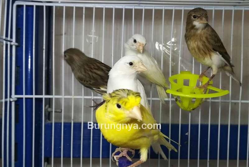 Tips Ternak Burung Kenari (reddit.com)