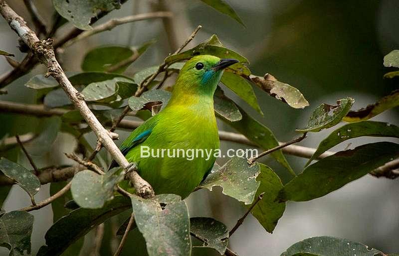 Burung Cica daun Kecil (wikipedia.org)