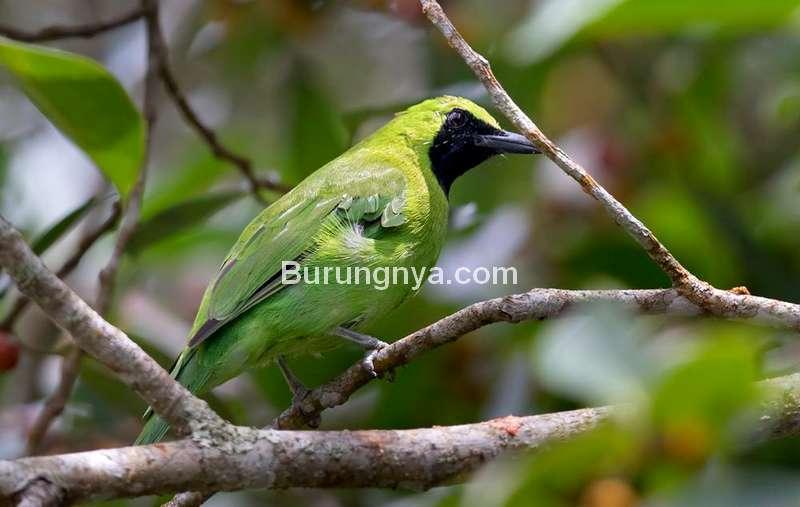 Burung Cica daun besar (hbw.com)