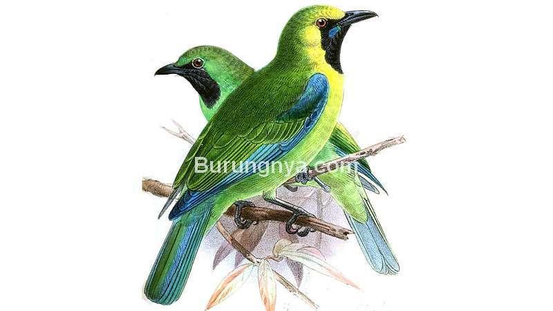 Burung Cica daun sayap-biru kalimantan (wikipedia.org)
