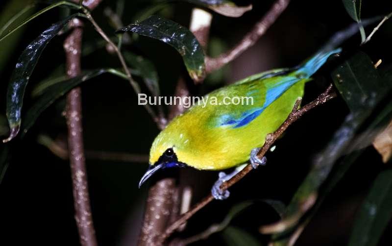 Burung Cica daun sayap-biru sumatera (hbw.com)