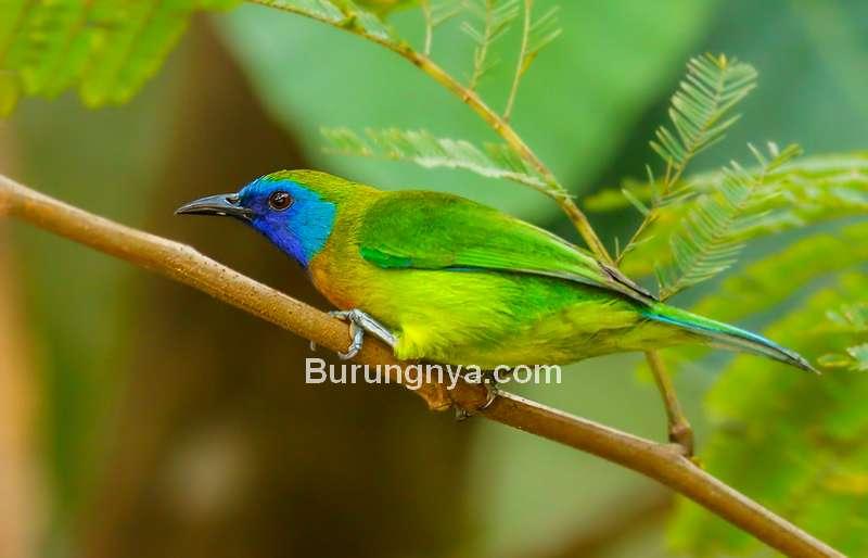 Burung Cica daun sumatera (flickr.com)