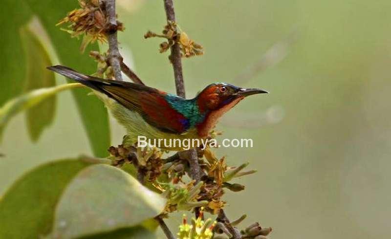 Burung Madu Leher Merah (hbw.com)