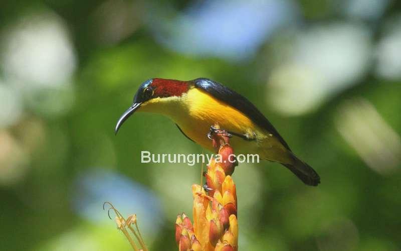 Burung Madu Sangihe (hbw.com)