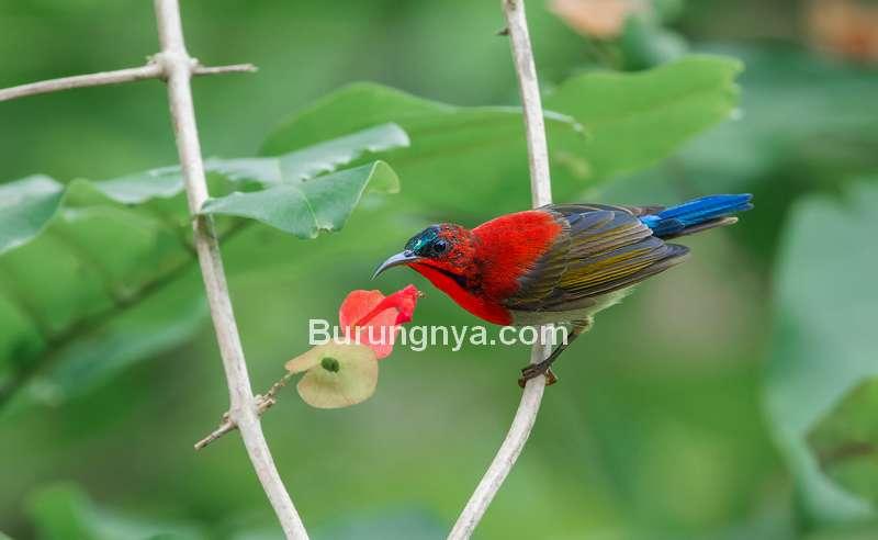 Burung Madu Sepah Raja (hbw.com)