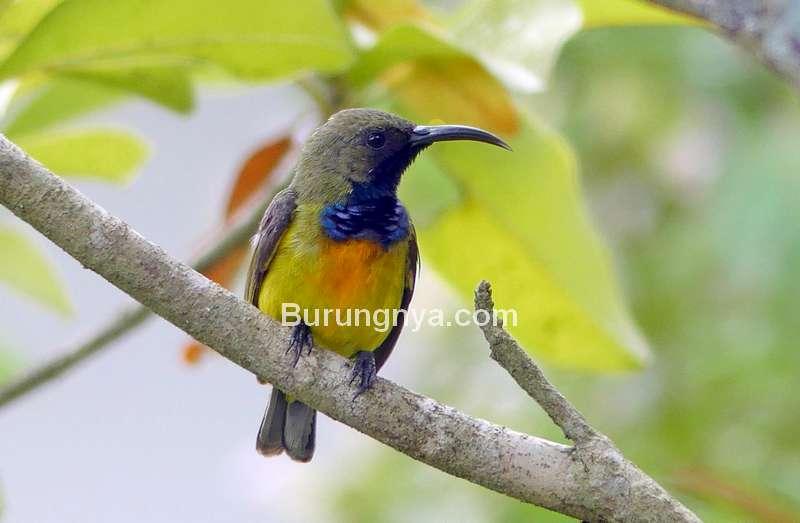 Burung Madu Sumba (hbw.com)