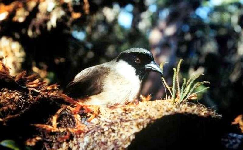 Burung Poouli (wikimedia.org)