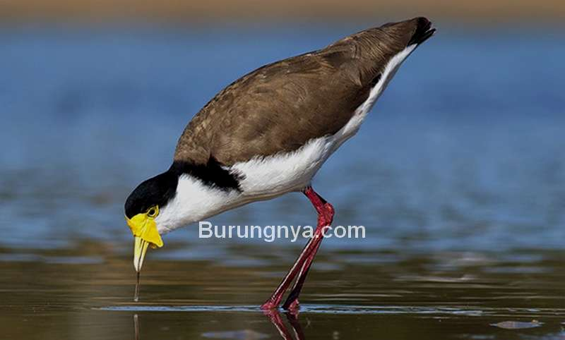 Burung Trulek Jawa (jenisfloraindonesia.web.id)