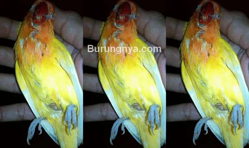 Cara Mengobati Lovebird Nyilet atau Kurus (kaskus.co.id)
