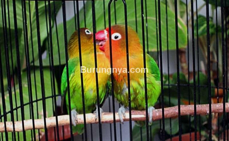 Cara Merawat Lovebird Paud di Rumah dan Lomba (albertlovebirdmania.blogspot.com)
