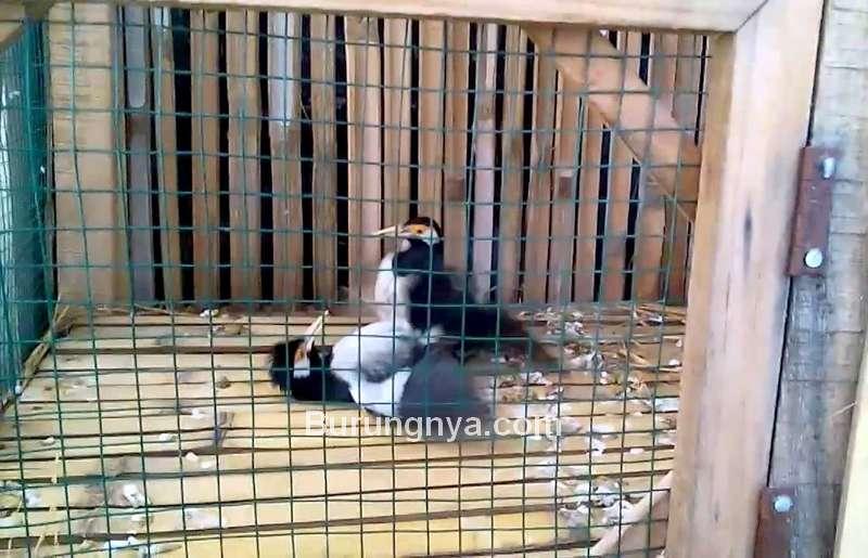 Cara Ternak Burung Jalak Suren (cyberspaceandtime.com)