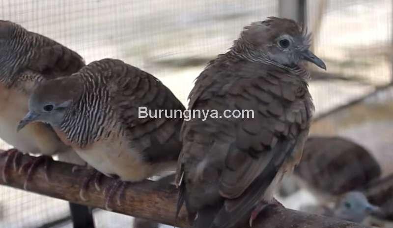 Ciri Burung Perkutut Cacingan dan Nama Obatnya (youtube.com)