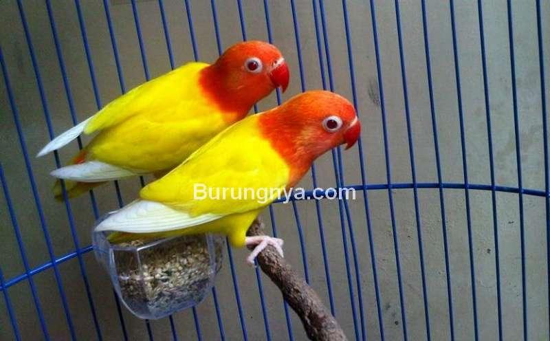 Ciri Lovebird Lutino (elevenia.co.id)