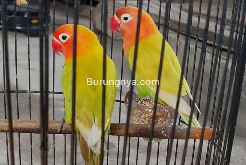 Ciri Lovebird Pastel Kuning atau Paskun (tokopedia.com)