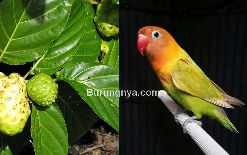 Daun Mengkudu untuk Burung Lovebird (doktersehat.com)