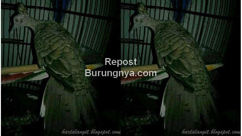 Ilustrasi Perkutut Punden Katuranggan Songgo Ratu (hartalangit.blogspot.com)